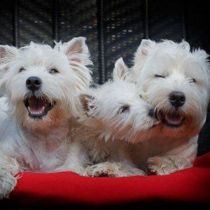 Westies aus Bayern - Kleinstein's Lakritznasen - Nürnberg - Westie Welpen kaufen, Westie Züchter, Hundewelpen, Westies kaufen, Hundezüchter, West Highland White Terrier Züchter, West Highland White Terrier Welpen, Westie Welpen vom Verein, vdh - Verband für das deutsche Hundewesen, kft - klub für terrier, Hundezucht, Welpenkauf, Welpen, Hundewelpen kaufen vom Züchter